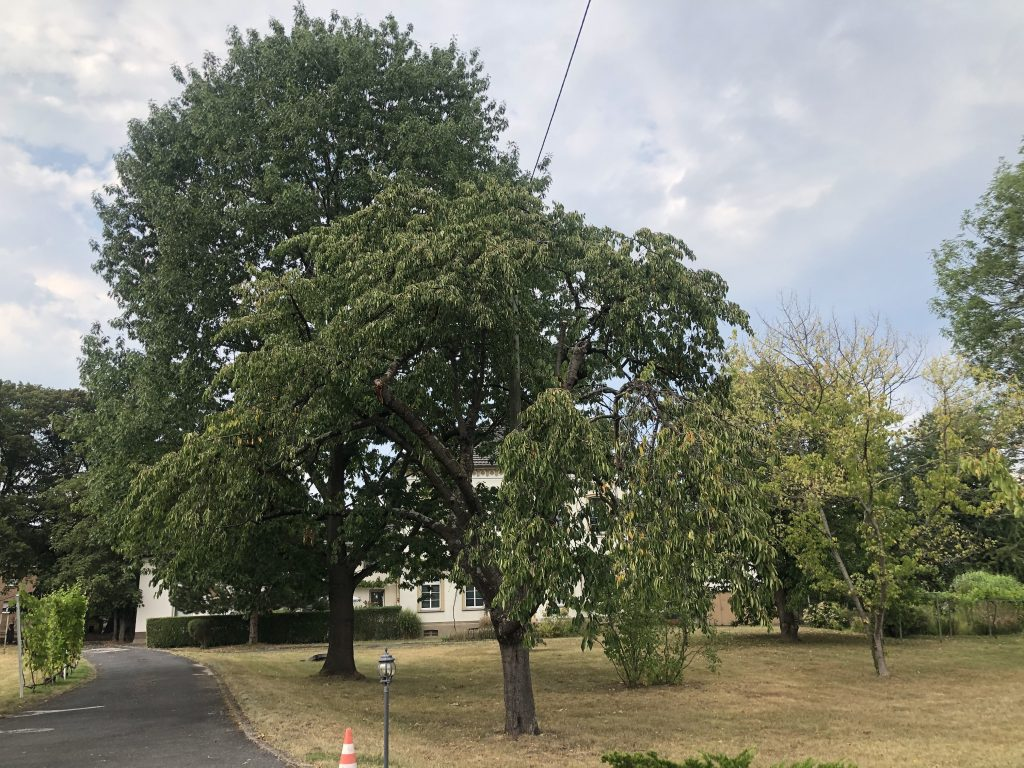Baum bei Trockenheit