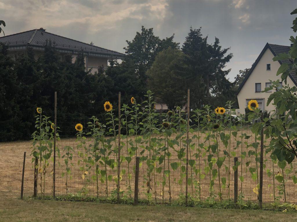 Sonnenblumen bei Trockenheit